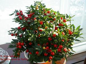 Photo boules rouges de pommier damour - Arbuste avec boule rouge ...